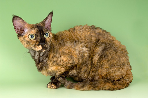 CAT 02 AL0013 01 © Kimball Stock Portrait Of Devon Rex Tortie Studio