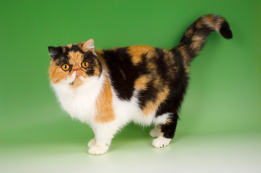 CAT 02 AL0021 01 © Kimball Stock Exotic Shorthair Tortie And White Standing On Seamless Studio