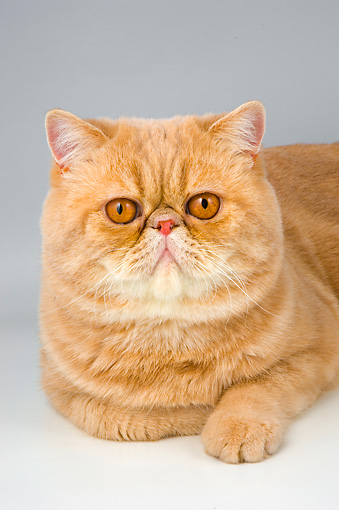 CAT 02 AL0023 01 © Kimball Stock Head Shot Of Exotic Shorthair Cream On Seamless Studio