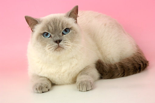 CAT 02 AL0027 01 © Kimball Stock British Shorthair Lilac Color Pointed Laying On Seamless Studio