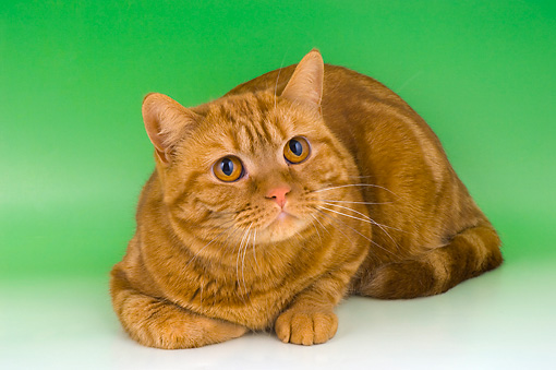 CAT 02 AL0028 01 © Kimball Stock British Shorthair Red Tabby Laying On Seamless Studio