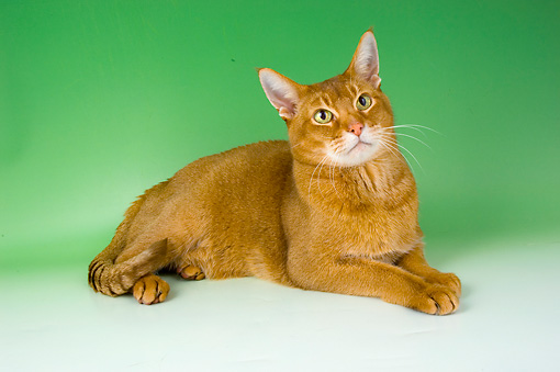 CAT 02 AL0030 01 © Kimball Stock Abyssinian Sorrel Laying On Seamless Studio