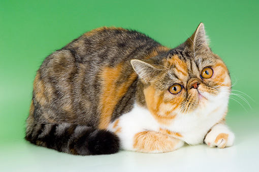 CAT 02 AL0034 01 © Kimball Stock Exotic Tortie Tabby And White Laying On Seamless Studio