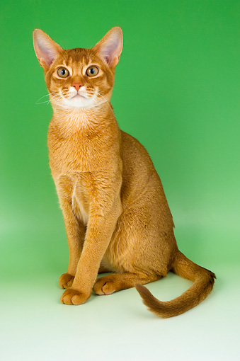 CAT 02 AL0035 01 © Kimball Stock Abyssinian Sorrel Sitting On Seamless Studio