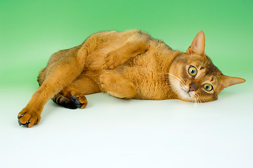 CAT 02 AL0036 01 © Kimball Stock Abyssinian Sorrel Laying On Seamless Studio