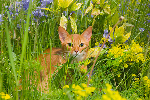 CAT 02 AL0044 01 © Kimball Stock Abyssinian Sorrel In Grass Field