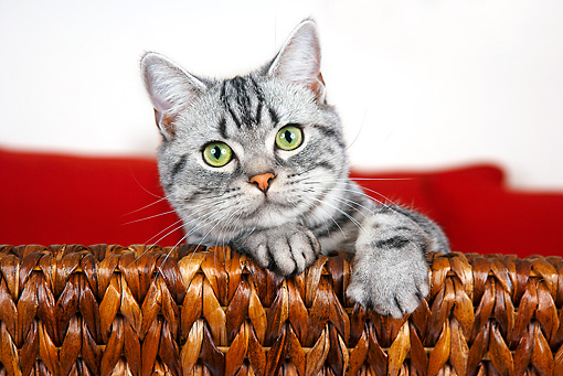 CAT 02 BK0002 01 © Kimball Stock American Shorthair Silver Tabby Peeking Over Chair