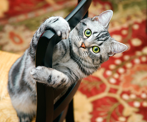 CAT 02 BK0003 01 © Kimball Stock American Shorthair Silver Tabby Peeking Through Chair Back