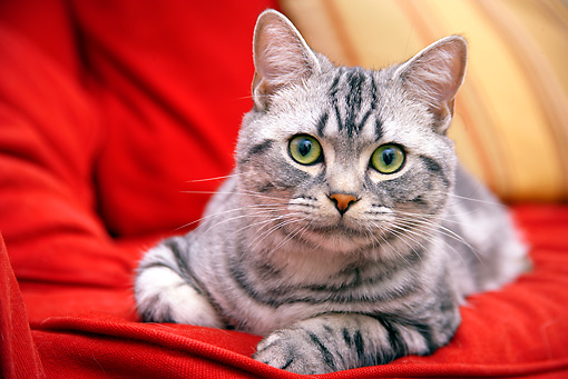 CAT 02 BK0004 01 © Kimball Stock American Shorthair Silver Tabby Laying On Red Couch