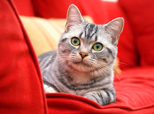 CAT 02 BK0005 01 © Kimball Stock American Shorthair Silver Tabby Laying On Red Couch