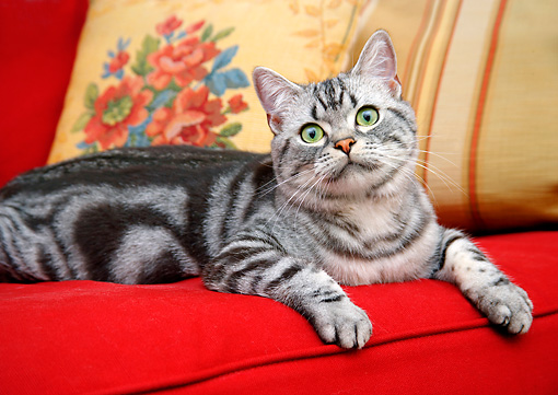 CAT 02 BK0007 01 © Kimball Stock Close-Up Of American Shorthair Silver Tabby Laying On Red Couch