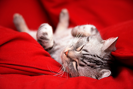 CAT 02 BK0010 01 © Kimball Stock American Shorthair Silver Tabby Sleeping On Red Couch
