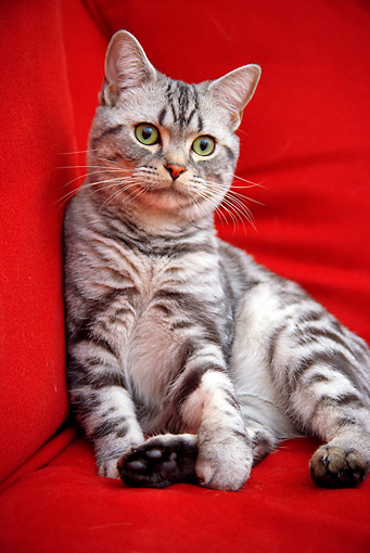 CAT 02 BK0011 01 © Kimball Stock American Shorthair Silver Tabby Sitting On Red Couch