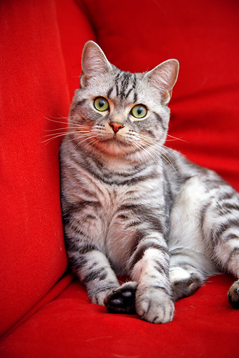 CAT 02 BK0012 01 © Kimball Stock American Shorthair Silver Tabby Sitting On Red Couch