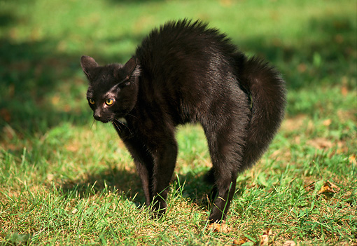 CAT 02 GR0030 02 © Kimball Stock Black Cat Arching Back On Grass