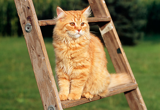 CAT 02 GR0047 01 © Kimball Stock Portrait Of Red Tabby Cat Sitting On Ladder