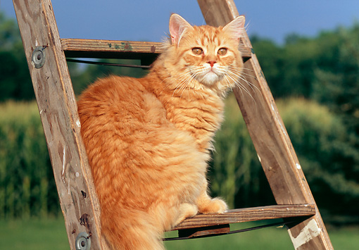 CAT 02 GR0048 01 © Kimball Stock Portrait Of Red Tabby Cat Sitting On Ladder Farm Background