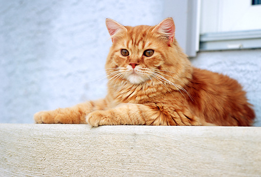 CAT 02 GR0049 01 © Kimball Stock Portrait Of Red Tabby Cat Laying On Concrete Porch Step