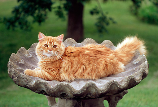 CAT 02 GR0050 01 © Kimball Stock Portrait Of Red Tabby Cat Laying In Concrete Bird Bath By Grass Tree