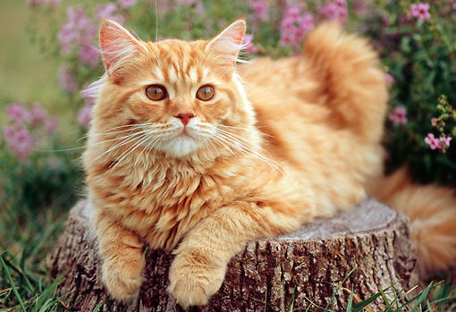 CAT 02 GR0051 01 © Kimball Stock Portrait Of Red Tabby Cat Laying On Tree Stump By Flowers