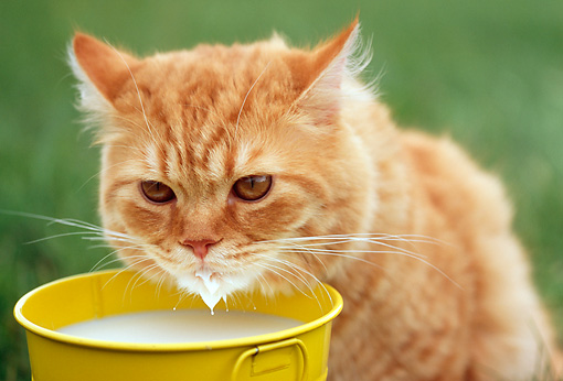 CAT 02 GR0054 01 © Kimball Stock Portrait Of Red Tabby Cat Drinking Milk From Yellow Pail