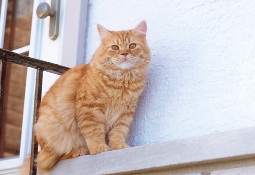 CAT 02 GR0057 01 © Kimball Stock Red Tabby Sitting On Ledge By Door Low Angle