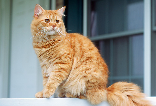 CAT 02 GR0058 01 © Kimball Stock Red Tabby Sitting On Ledge By Window Low Angle