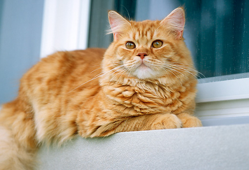 CAT 02 GR0059 01 © Kimball Stock Red Tabby Laying On Ledge By Window Low Angle
