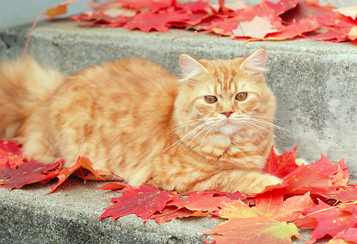 CAT 02 GR0060 01 © Kimball Stock Red Tabby Laying On Concrete Step With Autumn Leaves