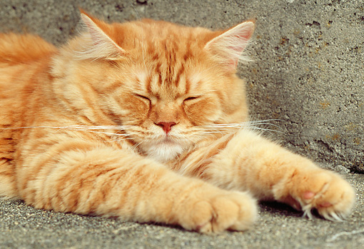 CAT 02 GR0061 01 © Kimball Stock Close Up Of Red Tabby Sleeping On Concrete Step