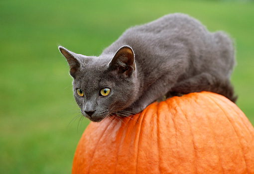 CAT 02 GR0064 01 © Kimball Stock Gray Cat Sitting On Pumpkin In Yard
