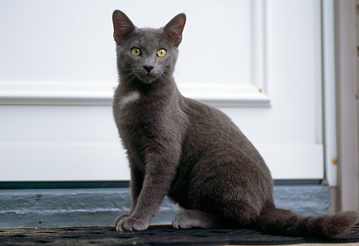 CAT 02 GR0068 01 © Kimball Stock Gray Cat Sitting At Door