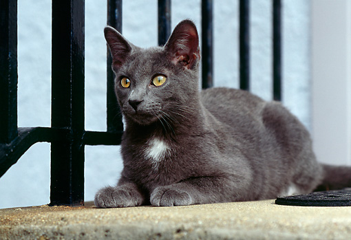 CAT 02 GR0069 01 © Kimball Stock Gray Cat Laying On Concrete Porch By Black Railing