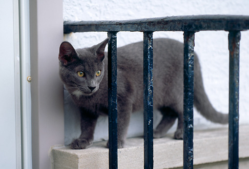 CAT 02 GR0070 01 © Kimball Stock Gray Cat Standing On Ledge By Black Railing