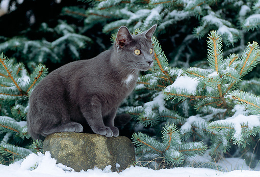 CAT 02 GR0072 01 © Kimball Stock Gray Cat Sitting On Rock By Evergreen Tree In Snow