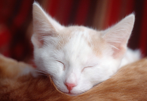 CAT 02 GR0082 01 © Kimball Stock Head Shot Of Sleeping White And Orange Kitten Resting Head On Back Of Red Cat