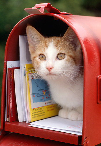 CAT 02 GR0083 01 © Kimball Stock Orange And White Tabby Kitten Crouching In Red Mailbox