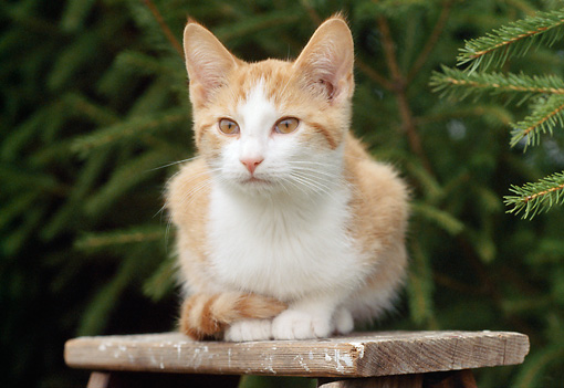 CAT 02 GR0085 01 © Kimball Stock Head On View Of Orange And White Tabby Kitten Crouching On Wooden Bench By Evergreen Trees