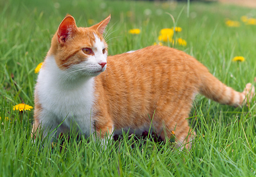 CAT 02 GR0090 01 © Kimball Stock Orange And White Tabby Cat Walking In Grass With Dandelions