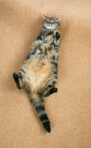 CAT 02 JD0004 01 © Kimball Stock Tabby Cat Sleeping On Back On Brown Carpet