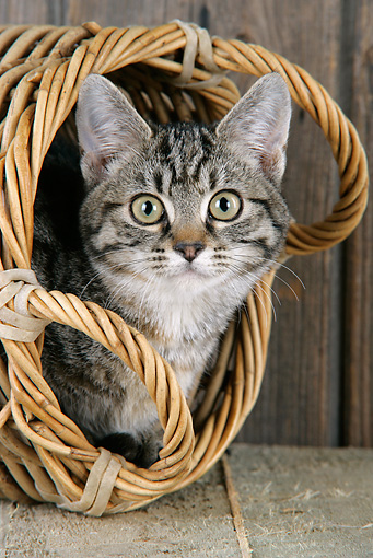 CAT 02 JD0017 01 © Kimball Stock Close-Up Of Tabby Cat Laying Inside Wicker Basket By Wooden Fence