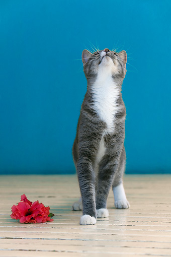 CAT 02 KH0077 01 © Kimball Stock Gray And White Cat Standing On Hardwood Floor By Pink Flower Looking Up