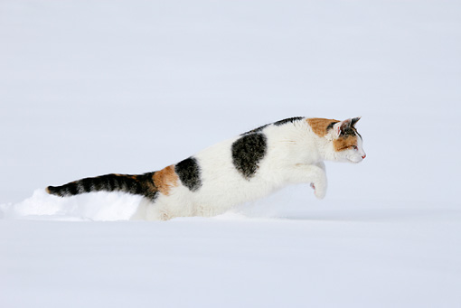 CAT 02 KH0085 01 © Kimball Stock Calico Tabby Cat Jumping In Snow Profile