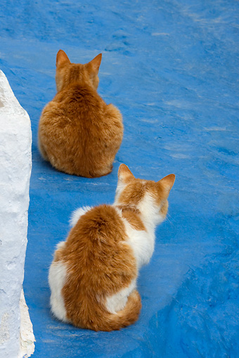 CAT 02 KH0092 01 © Kimball Stock Two Orange Tabby Greek Island Cats Crouching On Blue Cement Facing Away
