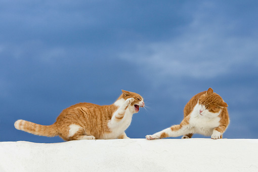CAT 02 KH0094 01 © Kimball Stock Two Orange Tabby Greek Island Cats Fighting On White Wall