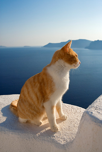 CAT 02 KH0097 01 © Kimball Stock Orange Tabby Greek Island Cat Sitting On White Wall By Ocean