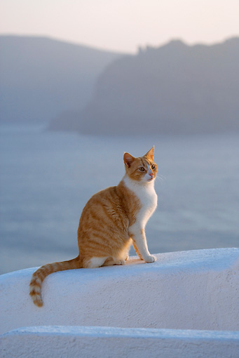 CAT 02 KH0098 01 © Kimball Stock Orange Tabby Greek Island Cat Sitting On White Wall By Ocean