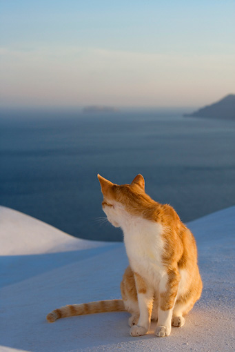CAT 02 KH0101 01 © Kimball Stock Orange Tabby Greek Island Cat Sitting On White Wall By Ocean