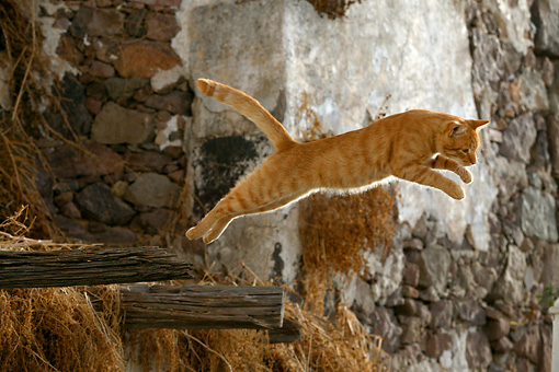 CAT 02 KH0110 01 © Kimball Stock Orange Tabby Greek Island Cat Leaping Off Wooden Beam On Side Of Building