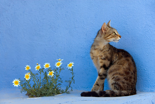 CAT 02 KH0117 01 © Kimball Stock Tabby Greek Island Cat Sitting By Blue Wall And Flowers